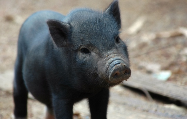 Pictures of Pigs – The Best of the Best