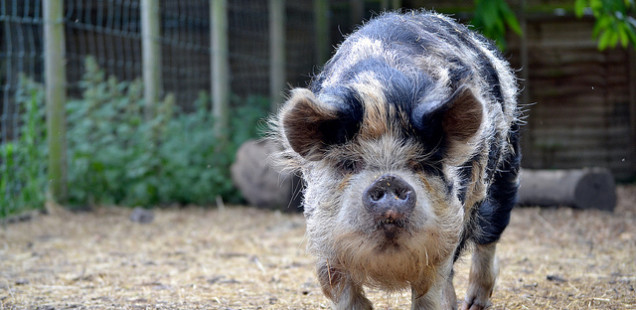 How to Adopt a Pig