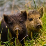 Inquisitive Piglets