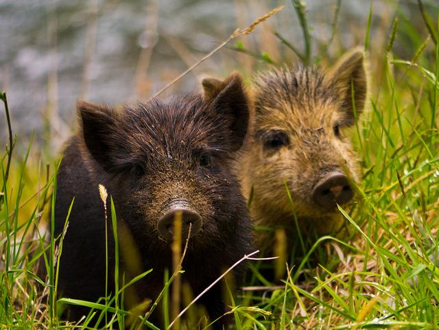Inquisitive Piglets