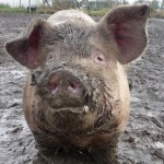 Keeping Pigs - Advice for Beginners