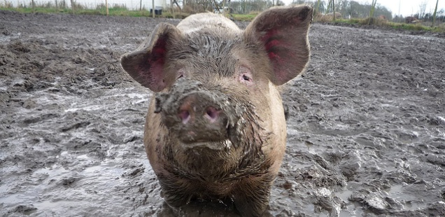 Keeping Pigs – What You Need To Know