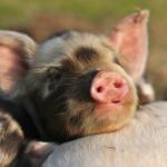 Sleepy Piglet