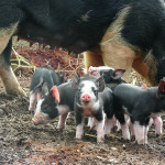 Some Little Berkshire Piglets