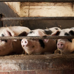 Pig Farming UK - Statistics and Information on UK Pig Farming