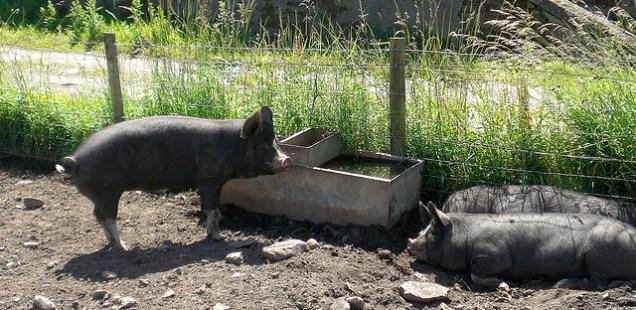 Rare Breed Pigs – Help Save Them!