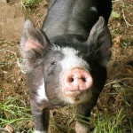 Cute Inquisitive Pig
