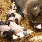 Cute Pigs Suckling