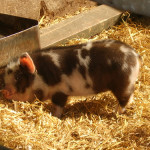 Cutest Pig Pictures