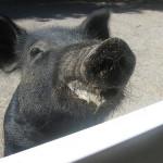 Dribbling Pig