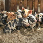 Group of Micro Pigs