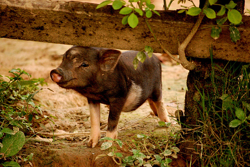 Cute Pigs – The Ultimate Picture & Video Gallery – Pig Brother