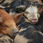 Micro Pigs in a Huddle