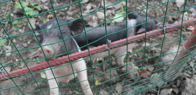 Micro Pigs – Frequently Asked Questions