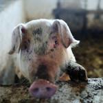 Muddy Cute Pig