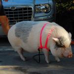 Pig on a Lead